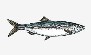 ABBA 腌制鲱鱼
